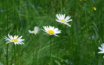 flowers, grass, nature, chamomile, wildflowers