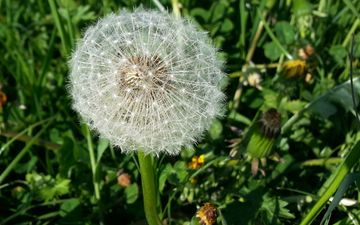 flowers, grass, nature, meadow, dandelion, dandelions, lawn, fuzzes, blade