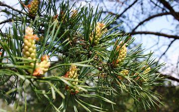 природа, дерево, хвоя, ветки, шишки, сосна