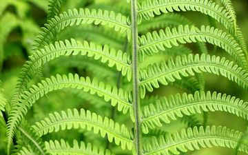 leaves, green, plant, fern, closeup