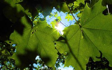 the sun, nature, leaves, foliage, plant, macro, sunbeam