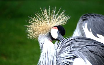 birds, bird, feathers, crane, crowned crane