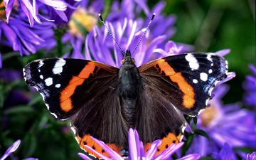 flowers, plants, insect, butterfly, wings, admiral, asters