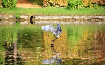 water, lake, nature, wings, bird, pond, heron