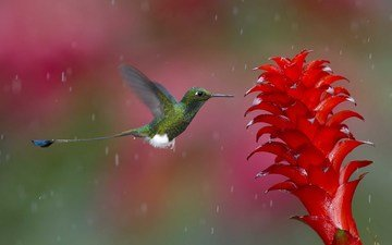 nature, flight, flower, bird, rain, plant, hummingbird