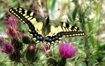 nature, macro, insect, butterfly, wings, thistle, swallowtail, flowers nature