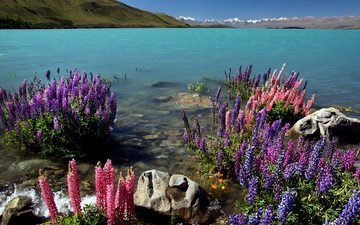 flowers, lake, rocks, nature, shore, landscape, sea, new zealand, lupins