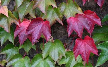 листья, осень, растение
