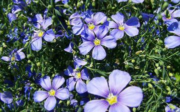 цветы, лепестки, растение, лен