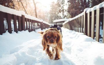 snow, winter, dog, walk, spaniel, cocker spaniel