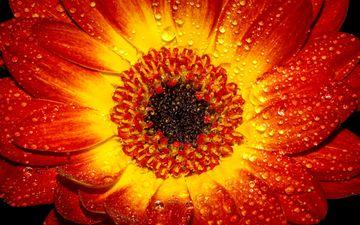 природа, цветок, роса, капли, лепестки, растение, гербера