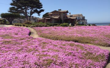 flowers, shore, lavender, home, the ocean, plant, ca, monterey