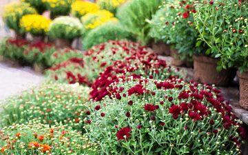 цветы, трава, сад, растение, хризантемы, клумба, маргаритки, гвоздики, цветник