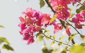 цветы, природа, цветение, листья, листва, весна, вишня, кустарник, крупным планом