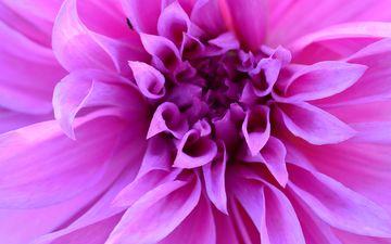 природа, цветок, лепестки, растение, макросъемка, георгин