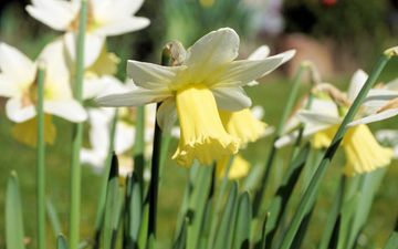 flowers, petals, stems, daffodils