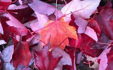tree, leaves, autumn, plant, maple