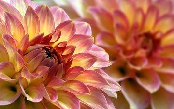 цветы, лепестки, макросъемка, георгин, крупным планом, георгины