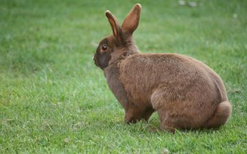 grass, rabbit, ears, hare