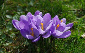 цветы, трава, лепестки, весна, крокусы, подснежник, шафран