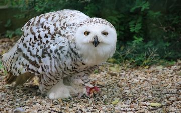 eyes, owl, nature, predator, bird, feathers, snowy owl, white owl