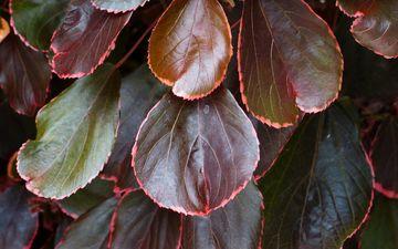 природа, листья, осень, лист, куст, растение, макросъемка, кустарник