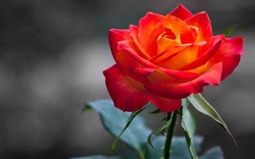 природа, цветок, роза, лепестки, размытость, бутон