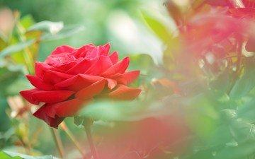 flowers, buds, leaves, macro, flower, roses, petals, red