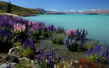flowers, water, lake, mountains, shore, landscape, sea, new zealand, lupins