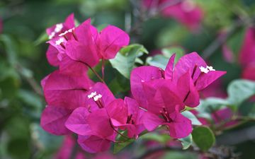 flowers, leaves, petals, bougainvillea