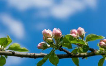 небо, цветы, ветка, природа, дерево, цветение, бутоны, листья, весна, макросъемка, яблоня