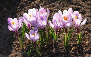 flowers, flowering, leaves, petals, spring, crocuses