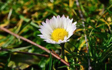 трава, макро, цветок, лепестки, ромашка, луг