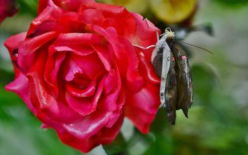 природа, насекомое, цветок, роза, лепестки, бабочка, крылья