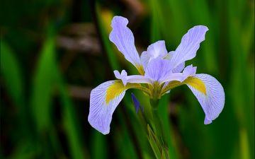 nature, macro, flower, petals, blur, iris