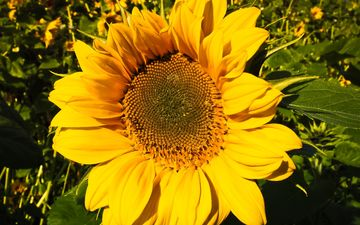 flower, petals, sunflower, closeup