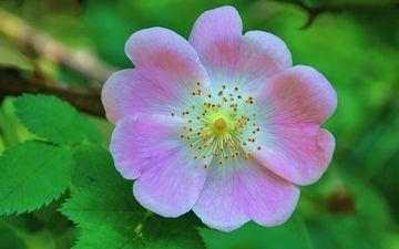 листья, цветок, лепестки, шиповник, макросъемка, дикая роза