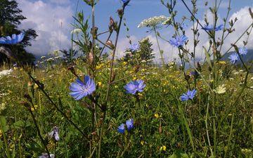 цветы, трава, природа, лето, поляна, полевые цветы, цикорий