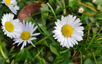 flowers, grass, nature, petals, meadow, chamomile, wildflowers