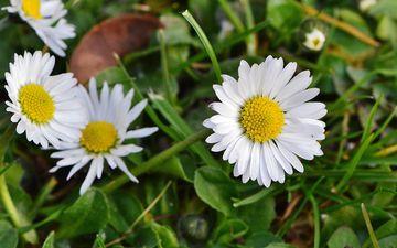 цветы, трава, природа, лепестки, луг, ромашки, полевые цветы