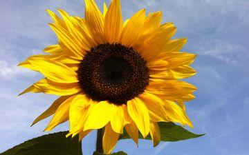 небо, цветок, лепестки, подсолнух, растение, макросъемка