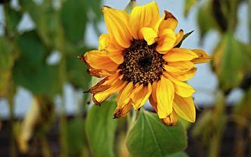 leaves, flower, petals, sunflower, plant