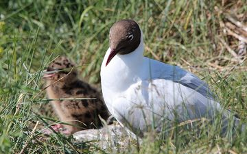 grass, chick, birds, tern
