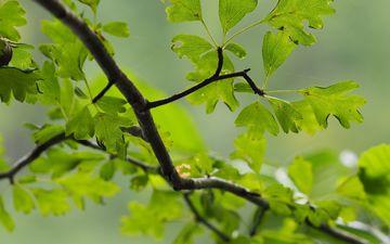 природа, зелень, листья, макро, фон, ветки, лист