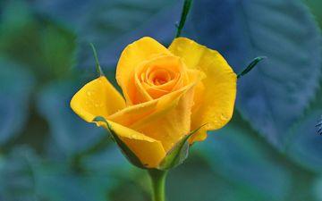 желтый, цветок, капли, роза, лепестки, бутон, макросъемка, стебель