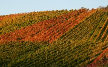 природа, осень, виноградник