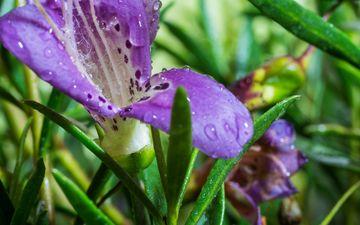 flowers, macro, drops, petals, irises, closeup