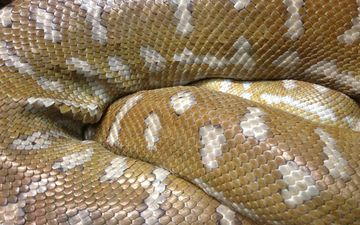 змея, питон, рептилия