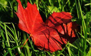 трава, природа, осень, лист, клен, кленовый лист