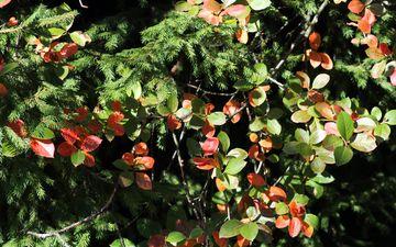 деревья, природа, листья, осень, ель
